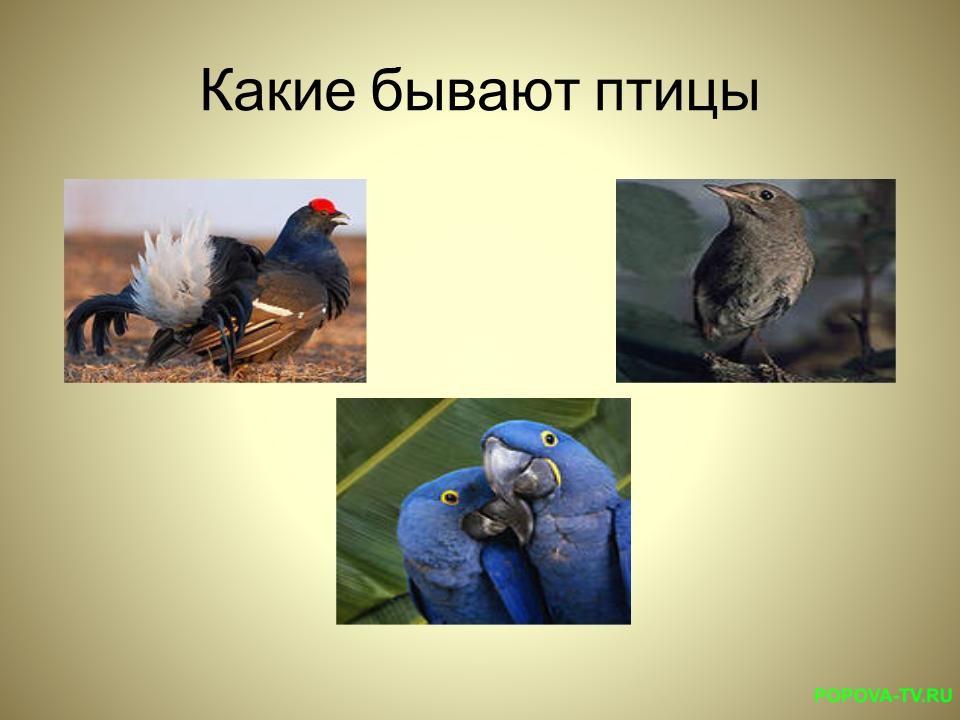 Глухарь, кулик, попугай